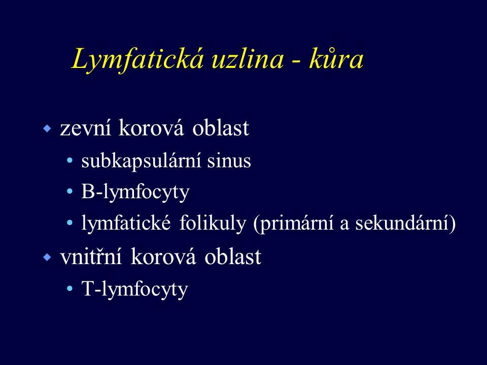 Lymfatická uzlina - kůra