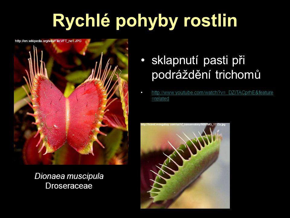 Rychlé pohyby rostlin sklapnutí pasti při podráždění trichomů