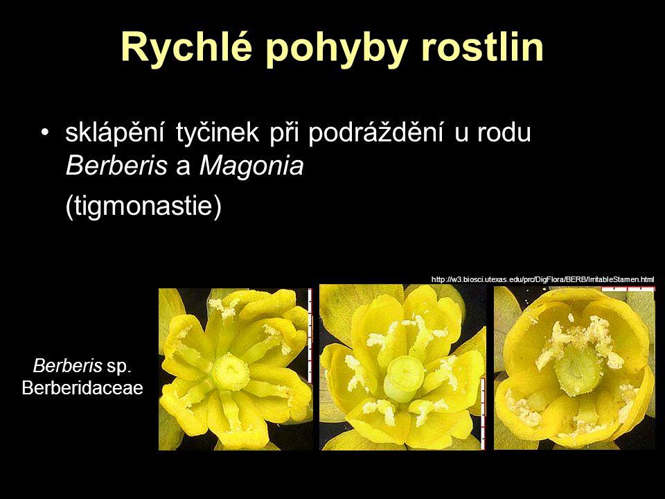 Rychlé pohyby rostlin sklápění tyčinek při podráždění u rodu Berberis a Magonia. (tigmonastie)