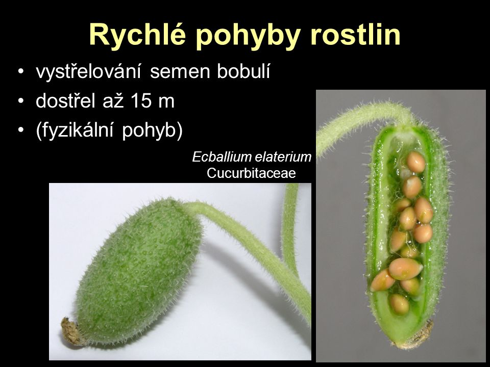 Rychlé pohyby rostlin vystřelování semen bobulí dostřel až 15 m
