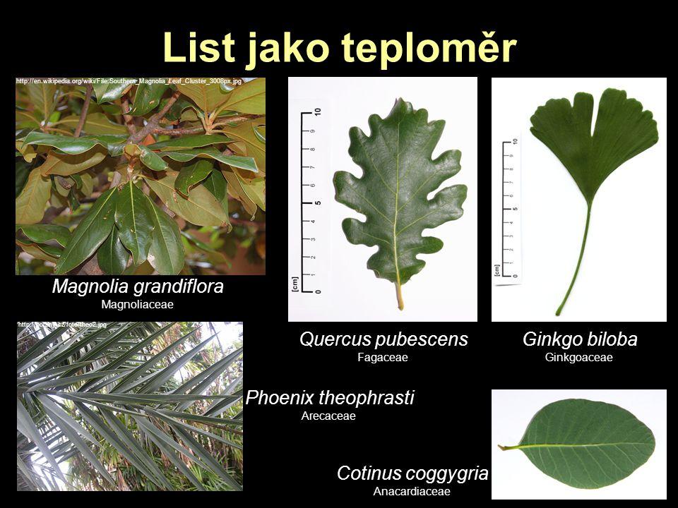 List jako teploměr Magnolia grandiflora Quercus pubescens