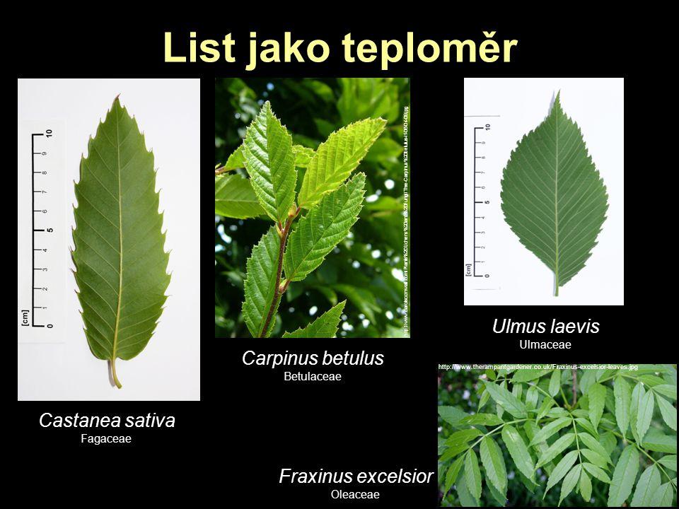 List jako teploměr Ulmus laevis Carpinus betulus Castanea sativa