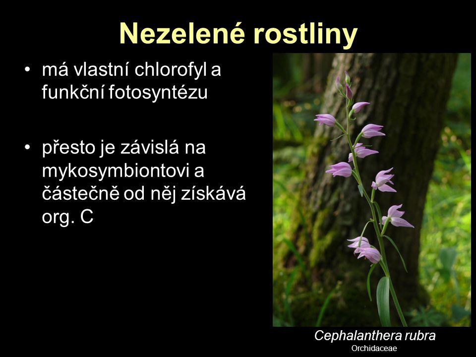 Nezelené rostliny má vlastní chlorofyl a funkční fotosyntézu