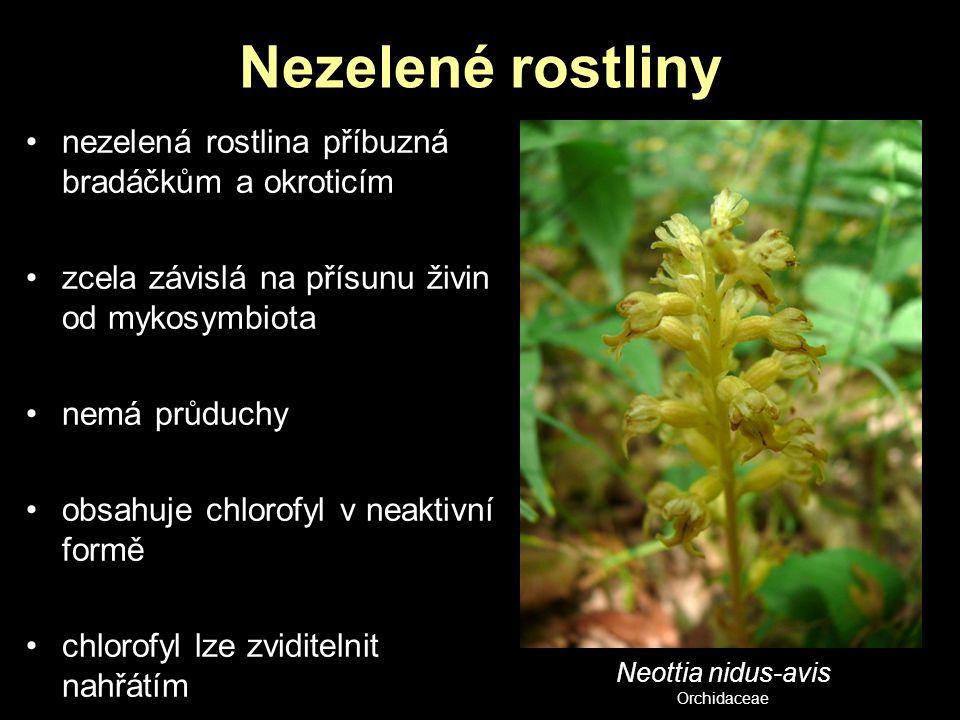 Nezelené rostliny nezelená rostlina příbuzná bradáčkům a okroticím