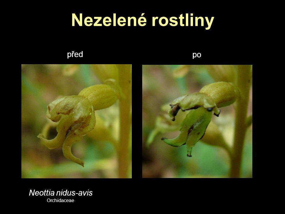 Nezelené rostliny před po Neottia nidus-avis Orchidaceae