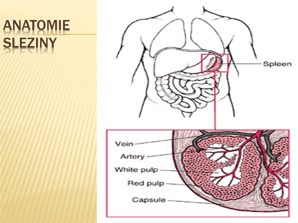 Anatomie Sleziny