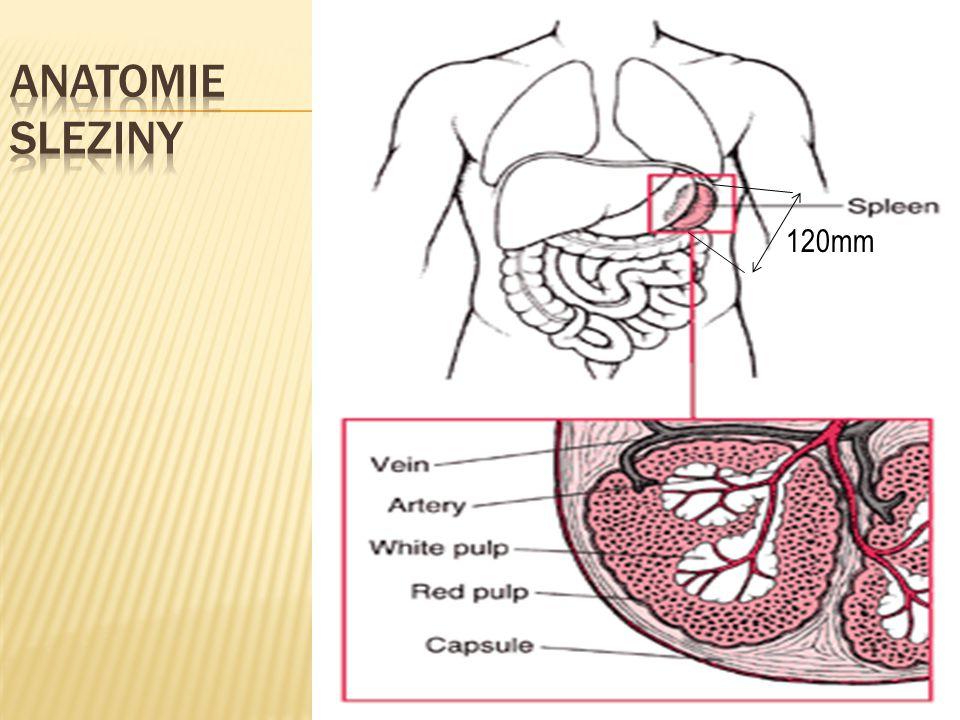 AnatomIE Sleziny 120mm