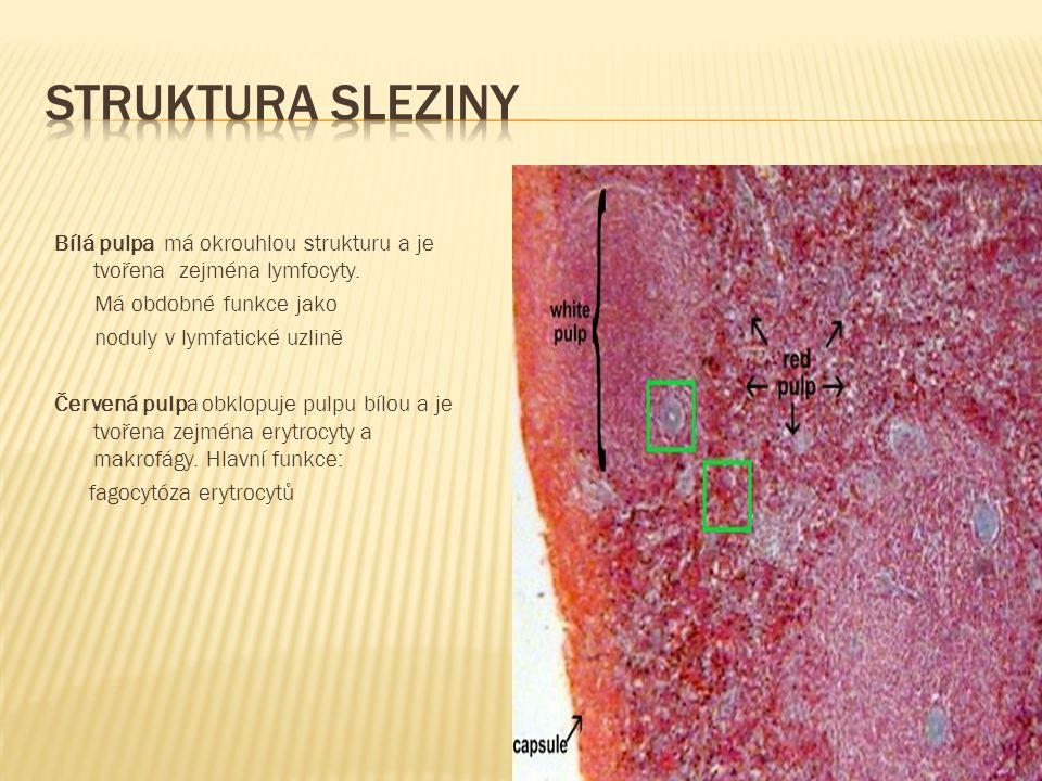Struktura Sleziny Bílá pulpa má okrouhlou strukturu a je tvořena zejména lymfocyty. Má obdobné funkce jako.