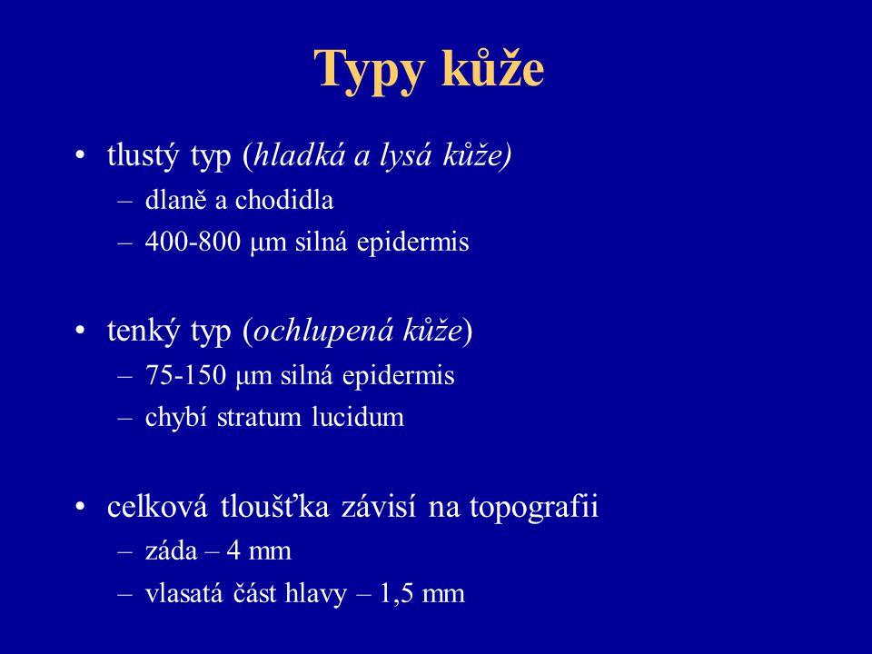 Typy kůže tlustý typ (hladká a lysá kůže) tenký typ (ochlupená kůže)