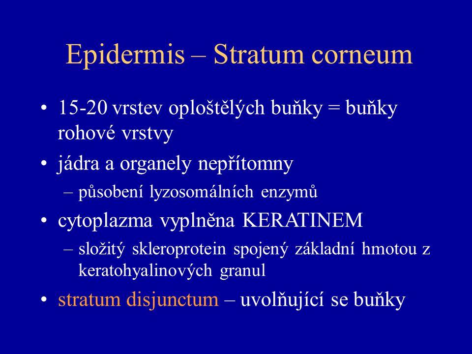 Epidermis – Stratum corneum