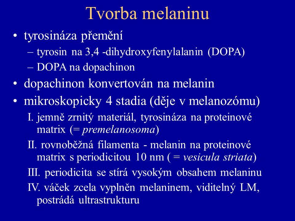Tvorba melaninu tyrosináza přemění dopachinon konvertován na melanin