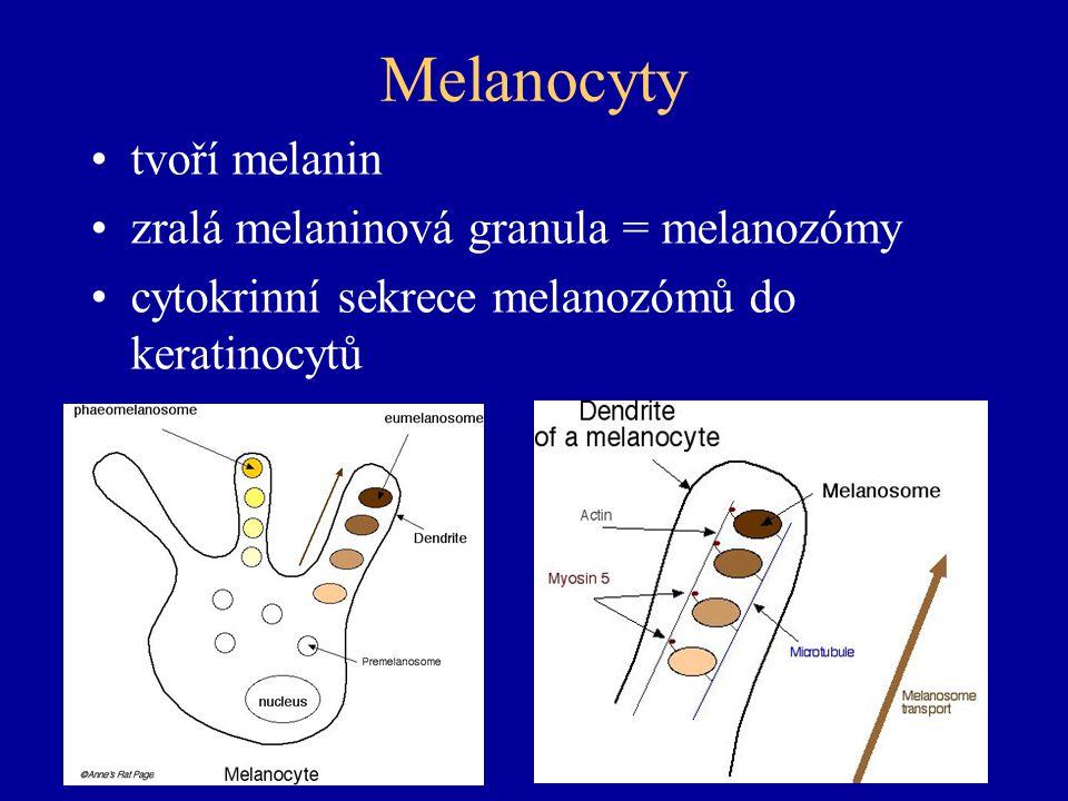Melanocyty tvoří melanin zralá melaninová granula = melanozómy