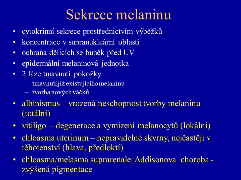 Sekrece melaninu cytokrinní sekrece prostřednictvím výběžků. koncentrace v supranukleární oblasti.