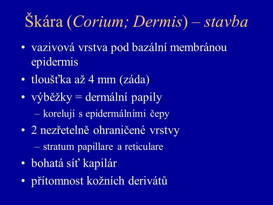 Škára (Corium; Dermis) – stavba