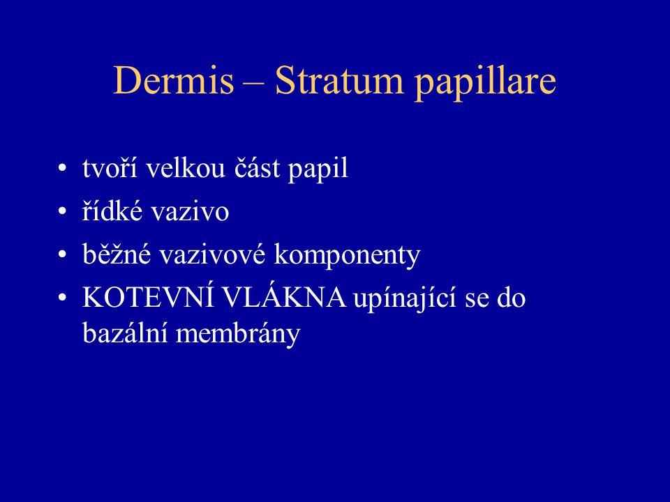 Dermis – Stratum papillare