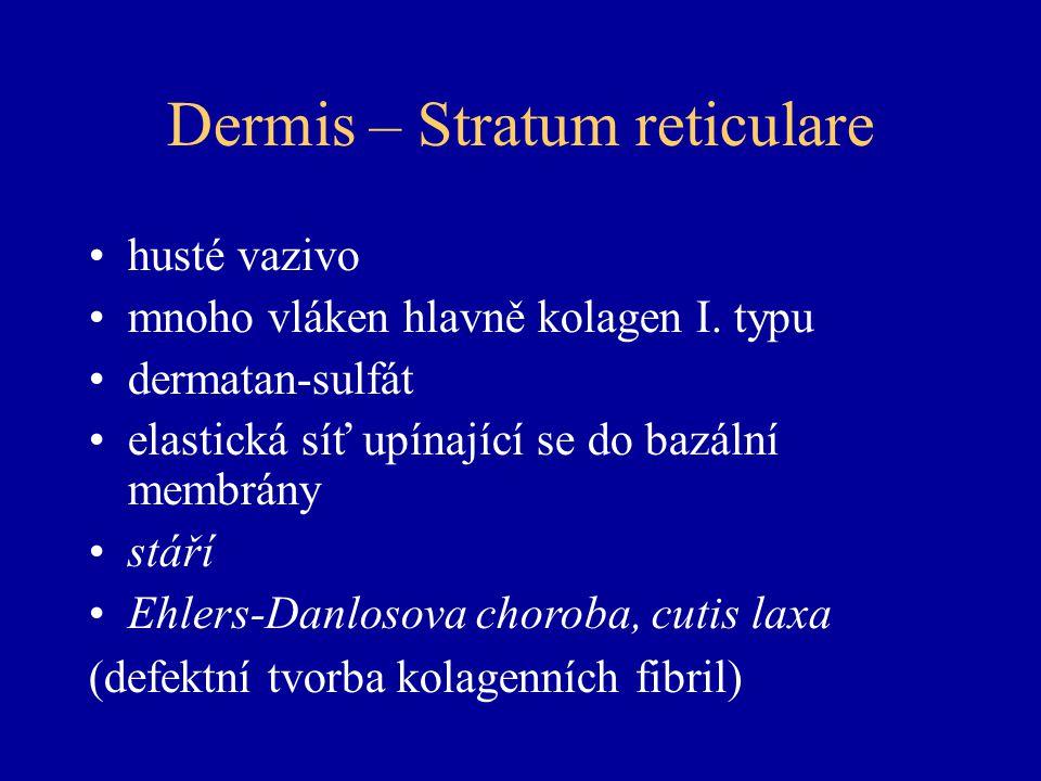 Dermis – Stratum reticulare