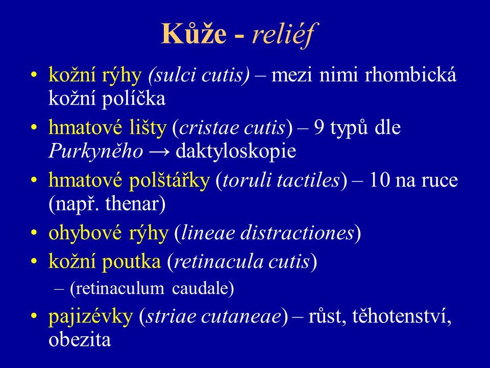 Kůže - reliéf kožní rýhy (sulci cutis) – mezi nimi rhombická kožní políčka. hmatové lišty (cristae cutis) – 9 typů dle Purkyněho → daktyloskopie.
