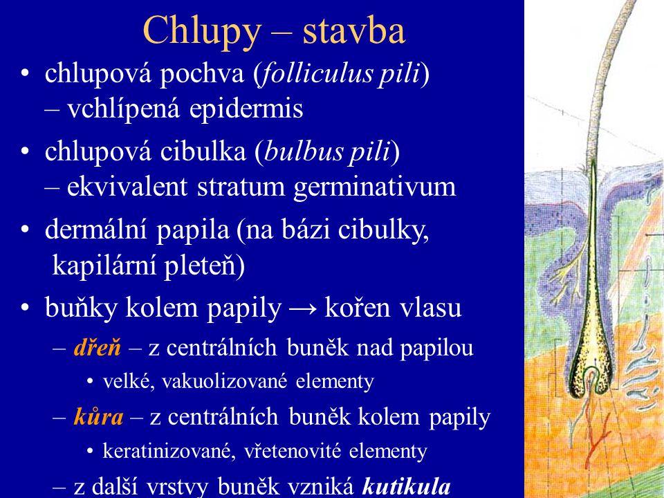 Chlupy – stavba chlupová pochva (folliculus pili) – vchlípená epidermis. chlupová cibulka (bulbus pili) – ekvivalent stratum germinativum.