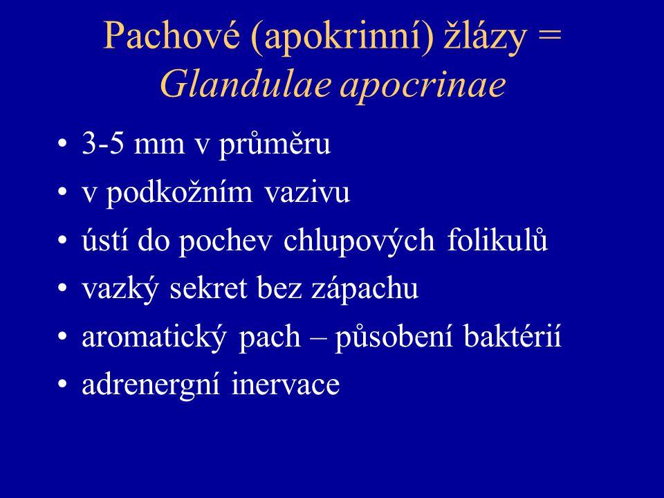 Pachové (apokrinní) žlázy = Glandulae apocrinae