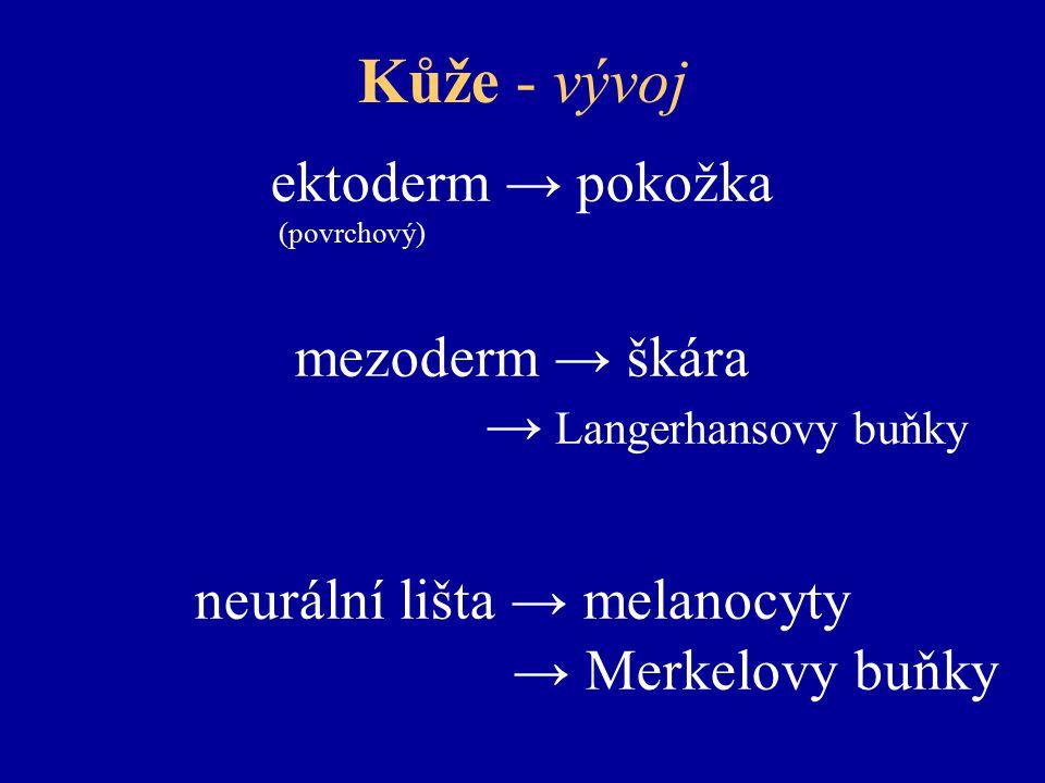 neurální lišta → melanocyty
