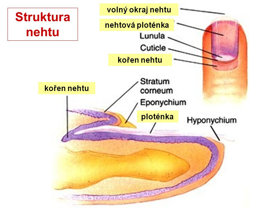 Struktura nehtu volný okraj nehtu nehtová ploténka kořen nehtu