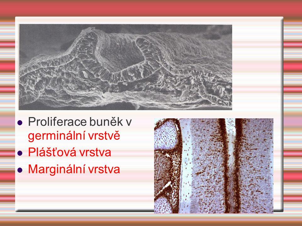 Proliferace buněk v germinální vrstvě
