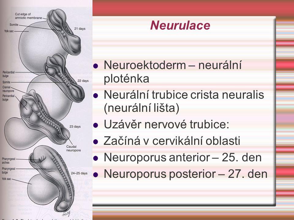 Neurulace Neuroektoderm – neurální ploténka