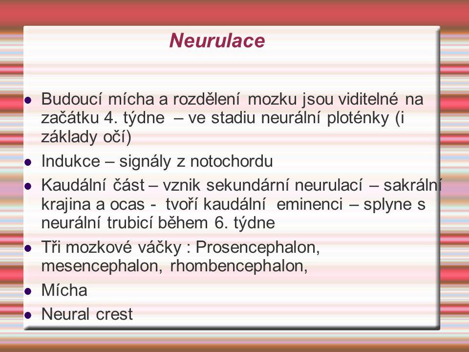 Neurulace Budoucí mícha a rozdělení mozku jsou viditelné na začátku 4. týdne – ve stadiu neurální ploténky (i základy očí)