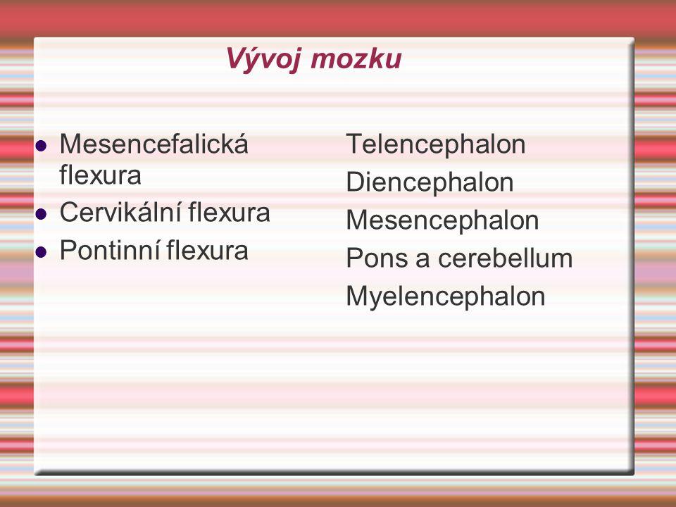 Vývoj mozku Mesencefalická flexura Cervikální flexura Pontinní flexura