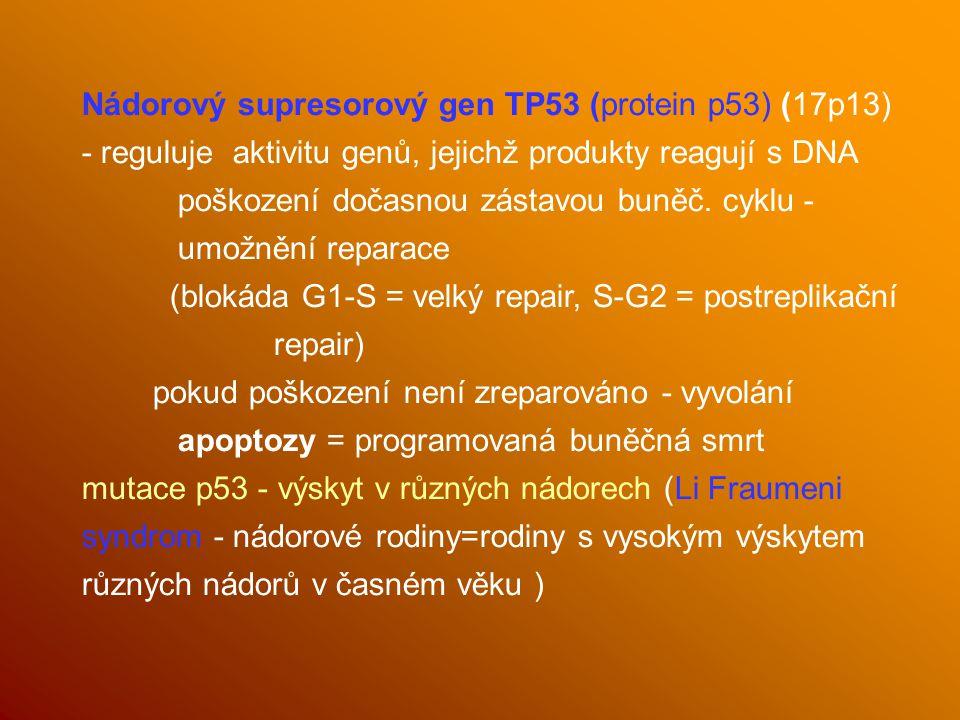 Nádorový supresorový gen TP53 (protein p53) (17p13) - reguluje aktivitu genů, jejichž produkty reagují s DNA poškození dočasnou zástavou buněč. cyklu - umožnění reparace