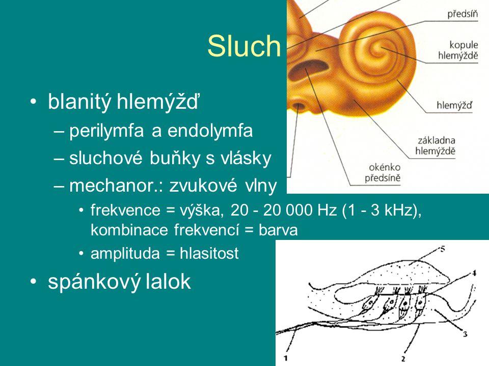 Sluch blanitý hlemýžď spánkový lalok perilymfa a endolymfa