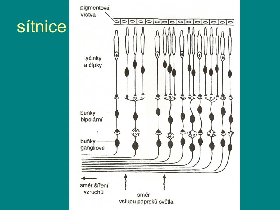 sítnice
