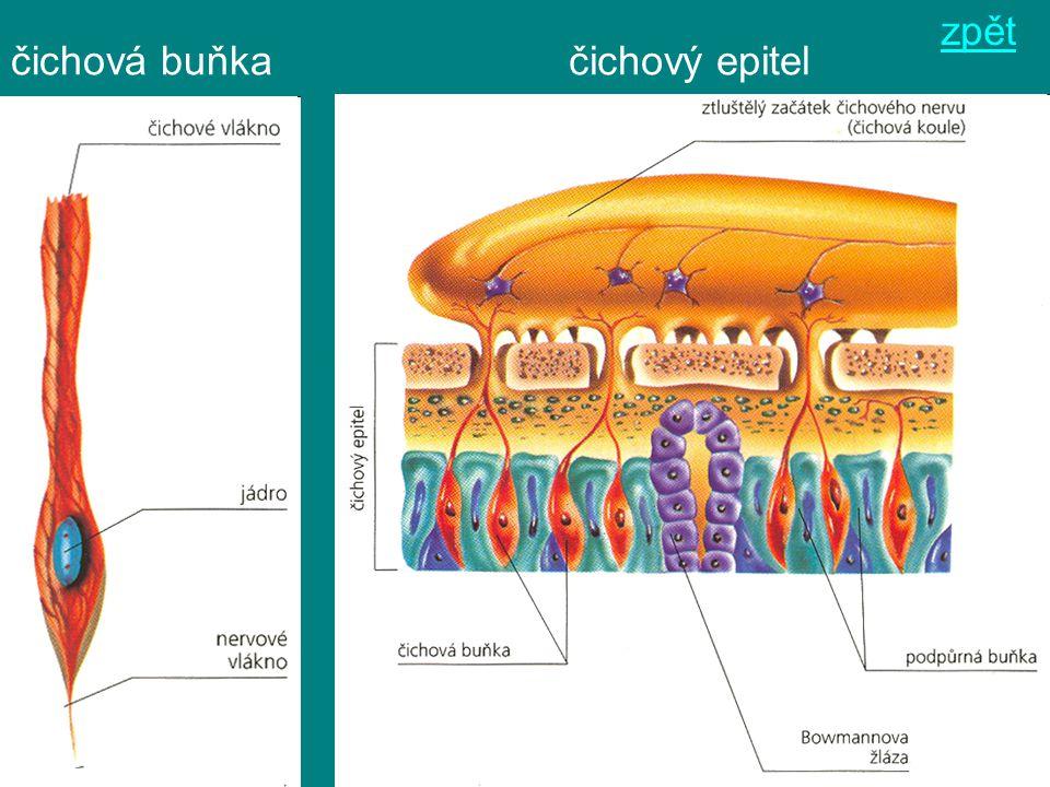 zpět čichová buňka čichový epitel