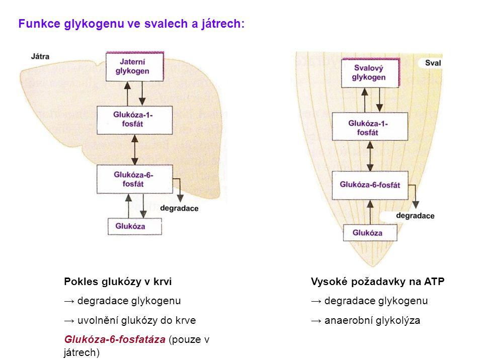 Funkce glykogenu ve svalech a játrech: