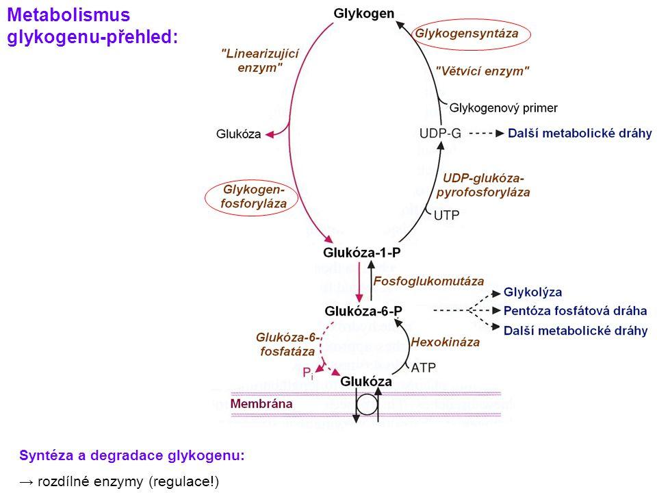 Metabolismus glykogenu-přehled: