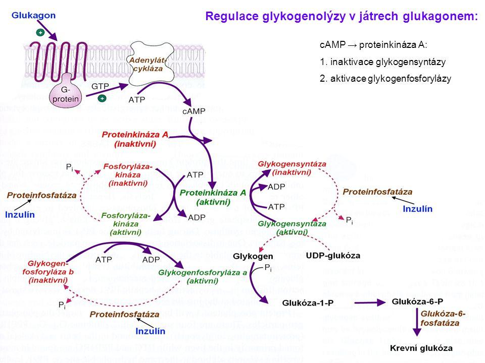 Regulace glykogenolýzy v játrech glukagonem:
