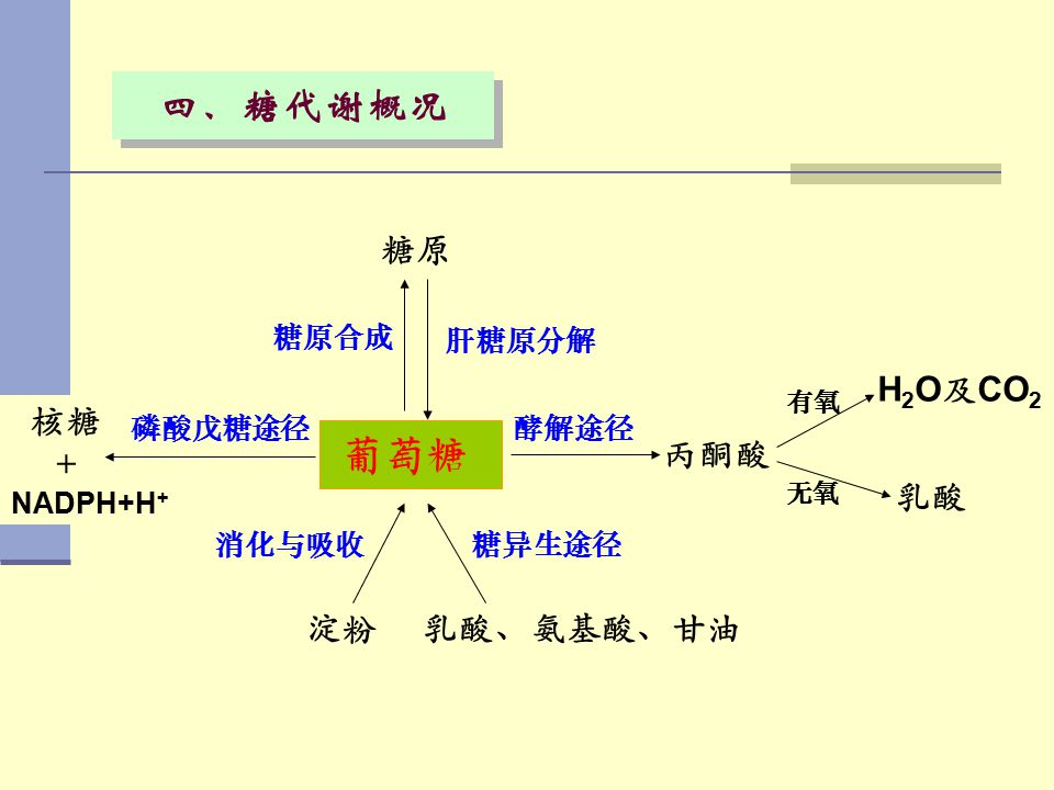 葡萄糖 四、糖代谢概况 糖原 丙酮酸 H2O及CO2 乳酸 核糖 + 淀粉 乳酸、氨基酸、甘油 肝糖原分解 糖原合成 酵解途径