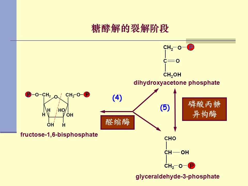 糖酵解的裂解阶段 磷酸丙糖 异构酶 醛缩酶 (4) (5) dihydroxyacetone phosphate