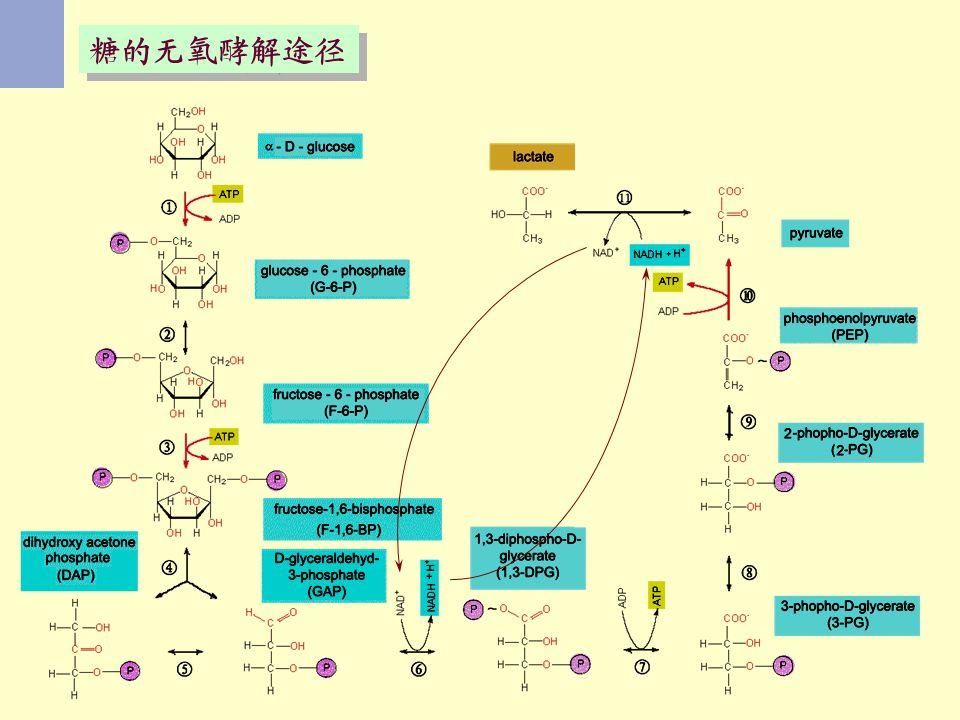糖的无氧酵解途径