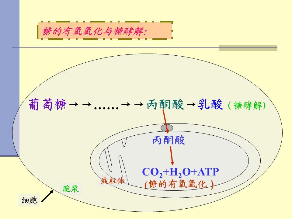 葡萄糖→→……→→丙酮酸→乳酸(糖酵解)