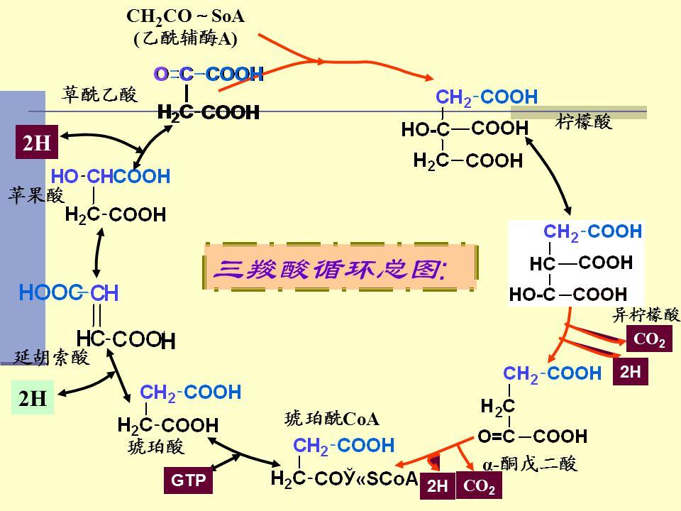 三羧酸循环总图: 2H H 2H CH2CO~SoA (乙酰辅酶A) 草酰乙酸 柠檬酸 苹果酸 延胡索酸 琥珀酰CoA 琥珀酸 α-酮戊二酸