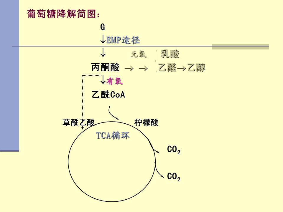 葡萄糖降解简图: G EMP途径  无氧 乳酸 丙酮酸   乙醛乙醇 有氧 乙酰CoA 草酰乙酸 柠檬酸 TCA循环 CO2