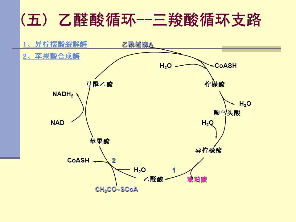 (五) 乙醛酸循环--三羧酸循环支路 1、异柠檬酸裂解酶 乙酰辅酶A 2、苹果酸合成酶 H2O CoASH 草酰乙酸 柠檬酸 NADH2