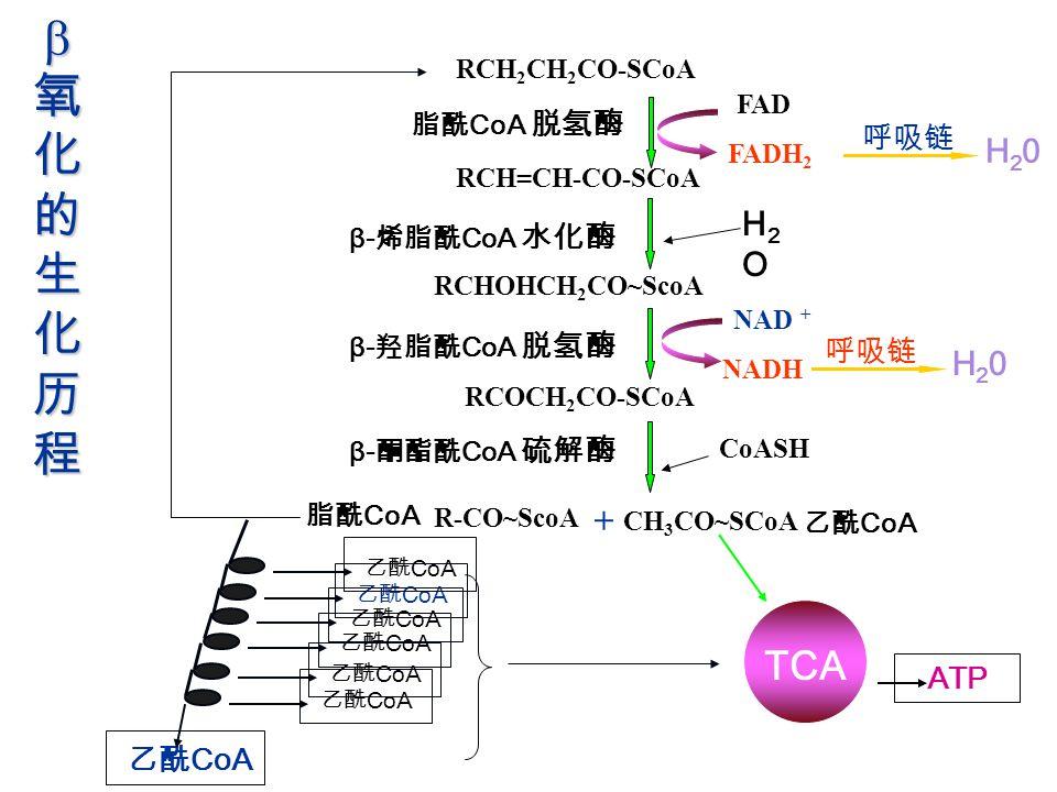氧化的生化历程 TCA + 乙酰CoA 乙酰CoA 乙酰CoA 乙酰CoA 乙酰CoA 乙酰CoA 乙酰CoA 乙酰CoA H20 H2O