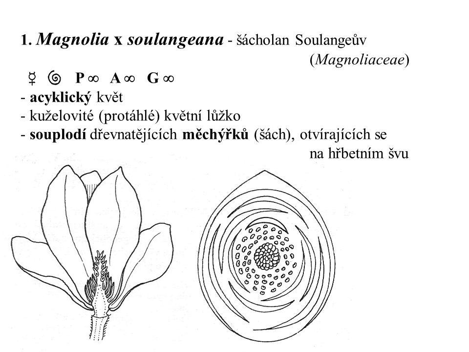 1. Magnolia x soulangeana - šácholan Soulangeův