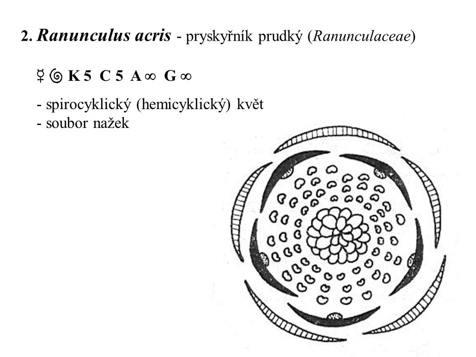2. Ranunculus acris - pryskyřník prudký (Ranunculaceae)