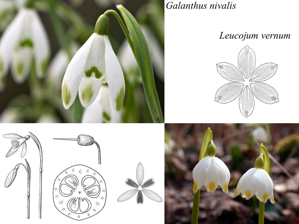Galanthus nivalis Leucojum vernum