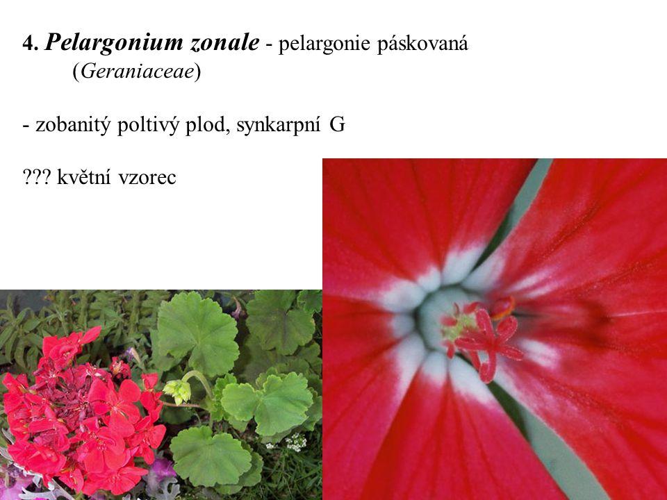 4. Pelargonium zonale - pelargonie páskovaná