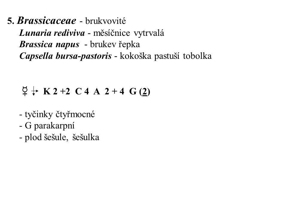 5. Brassicaceae - brukvovité