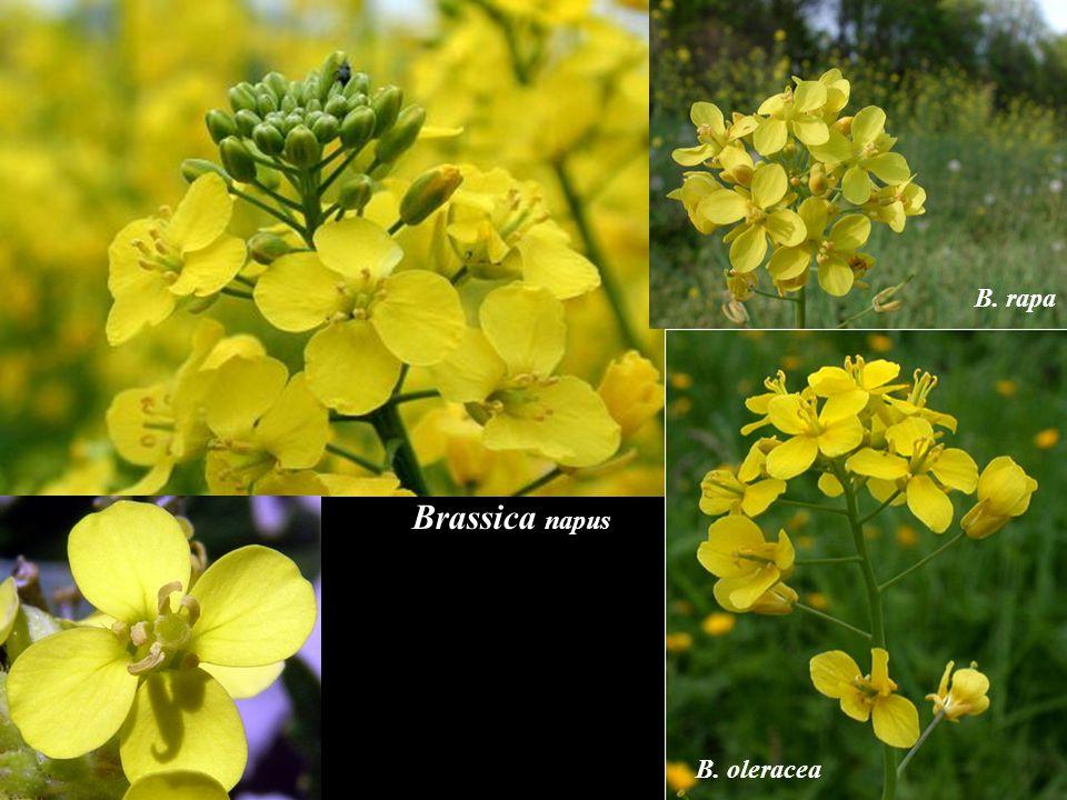 B. rapa Brassica napus B. oleracea